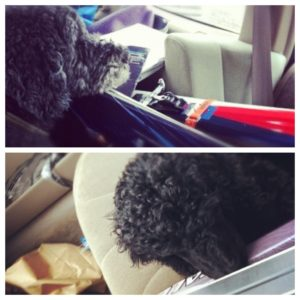 2 Poodles, 4 skis. Mountain Companionship via a poodle