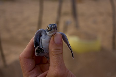 Baby Turtle, Phase 1. Photo By Peter Doucette