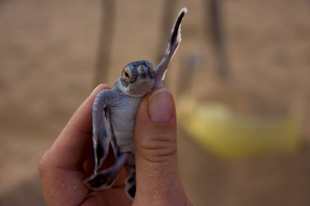 Baby Turtle, Phase 2. Photo By Peter Doucette